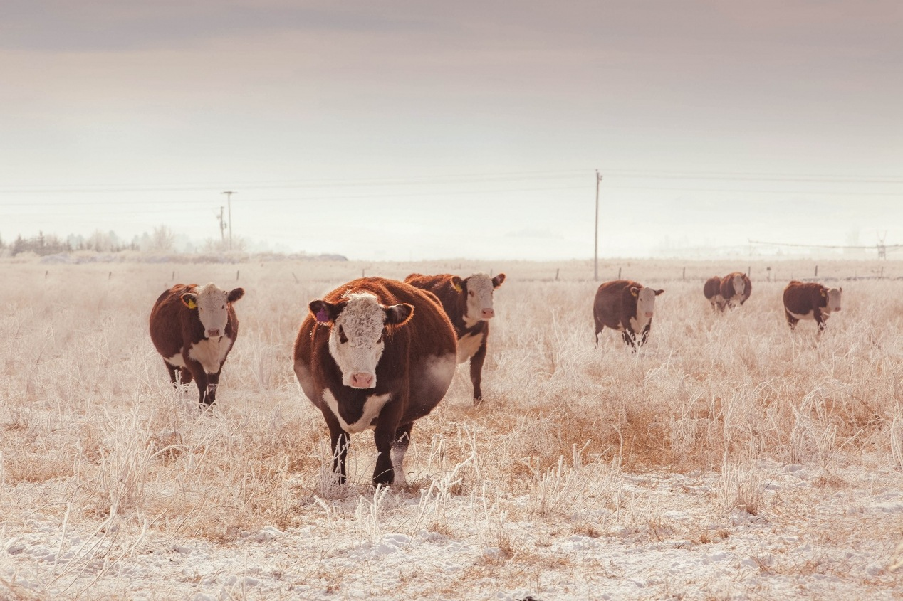 Winter-Cows-Scenic_2